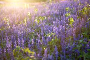 flores azuis de sálvia na luz do sol