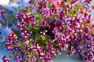 bouquet of oregano closeup