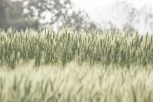 Barley field in vintage color filter. photo