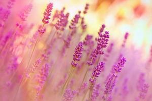 Lavender in flower garden