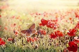 Mariposa marrón en una pradera de flores de amapola