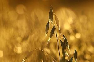 oats at sunset texture photo