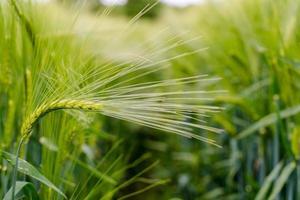 vista de cerca de trigo verde. foto