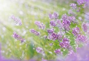 Lavender illuminated by the morning sunlight