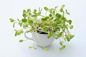sunflower sprouts place in cup on white background photo