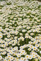 flower background, daisy field, daisy texture