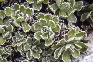 Houseleek Sempervirum with ice