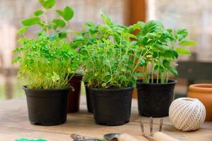 Herb  Seedlings photo