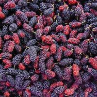 Close up organic mulberry fruit harvested from the farm.