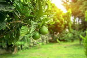 Lime tree photo