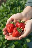 Ripe strawberry in hand. photo