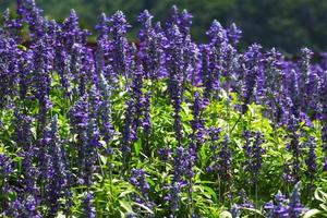 lavender flowers in green darden outdoor