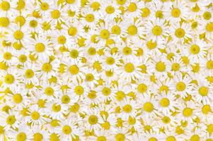 Group of Chamomile flower heads – background