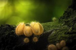 Pink Burn Cup mushroom photo