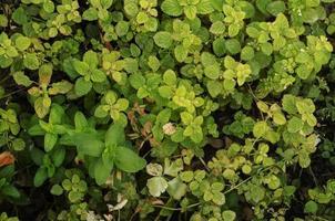 Green melissa background