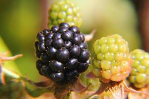 Blackberries. Berries.