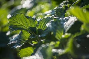hoja de fresa con rocío y luz de fondo en la mañana foto