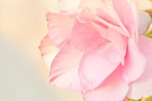 Pink desert rose photo