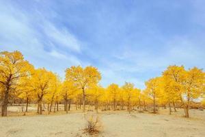 Inner Mongolia, China Populus euphratica