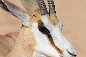 Male Springbok head close up