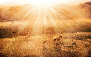 antelopes at sunrise photo