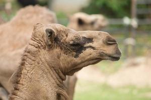 Retratos de un camello africano de color marrón. foto