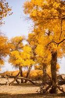 EJINAQI Inner Mongolia,  China Populus euphratica photo