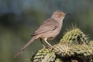 Curved-bill Thrasher on Cactus