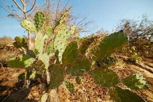 flat cactus with long thorns growing on dry land photo