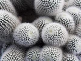 many cactus