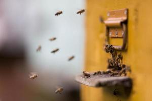 Honey bees  flying around their beehive photo