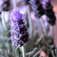 Lavender blooms against white