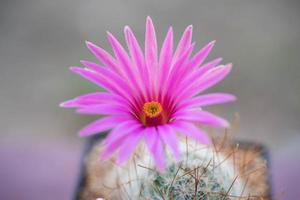 cactus,mammillaria guelzowiana photo