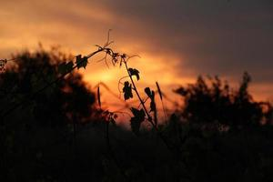 Grape leaves silhouette at sunset