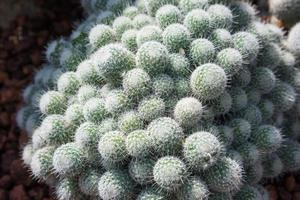 white spike bush cactus
