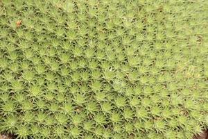 """planta """"abromeitiella brevifolia"""""""