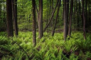 Forest Ferns photo