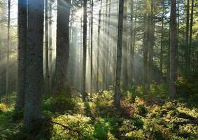 Forest dawn photo