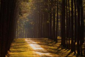 bosque de pinos al atardecer foto