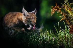 Eurasian lynx in forest photo
