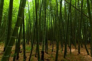 luz en el bosque de bambú foto
