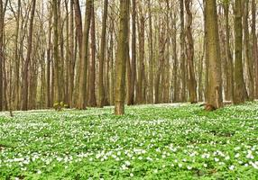 anémone en forêt