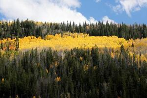 Bright Fall Colors Aspen Forest