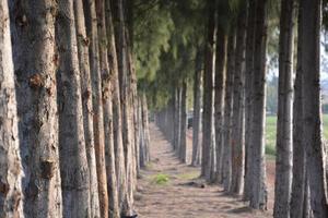 camino en el bosque de pinos