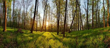 panorama del bosque de primavera con sol