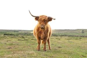 New Forest National Park Highland Cow foto