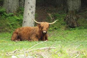 Highland Cattle, Kyloe in the Forest