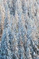 Spruce forest with snow in the winter