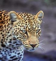 Leopard hunting in a forest in Kenya