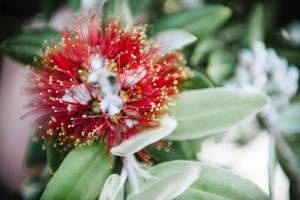 Red blooming tropical flower in summer forest photo